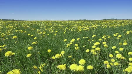 Wind swings yellow dandelions in the field in summer sunny day. The camera moves across the field