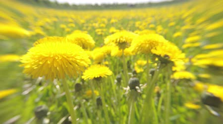The field of the yellow dandelions removed on a lens soft focus in summer sunny day