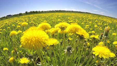 The field of the yellow dandelions removed on a lens a fish eye in summer sunny day