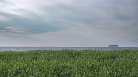 The white cruise ship moves on the horizon of the Gulf of Finland to summer sunny day. Coastal canes in the foreground