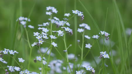 Myosótis.Wind swings blue flowers of a forget-me-not against the background of beautiful a side from green herbs