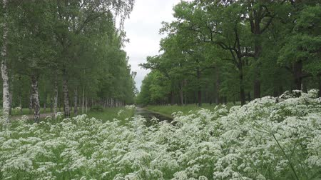 Summer garden. Avenues of birches and oaks grow along the channel with water. White flowers in the foreground Stock mozgókép