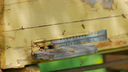 apiary : Bees flying around their beehive