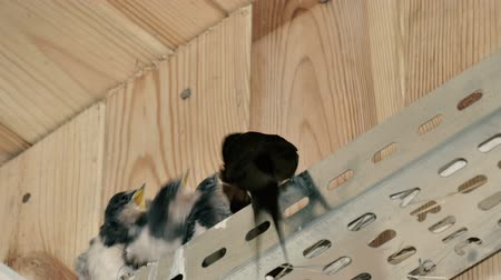 fészek : Swallow flew feed their chicks Stock mozgókép