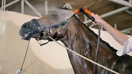 manges : Young man cleaning the horse in the stall