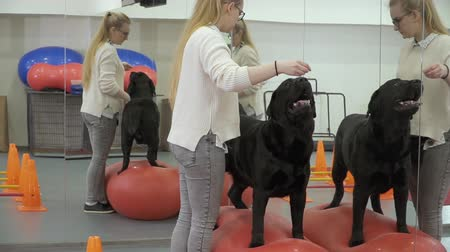command : Cynologist trains labrador in the gym near the mirror Stock Footage