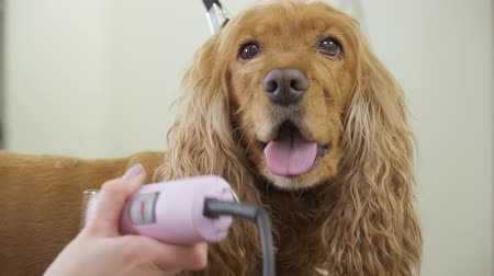 spanyel : Portrait of cute cocker spaniel during shaving his fur Stok Video