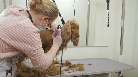 spanyel : Groomer shaves fur of cocker spaniel with a electric razor