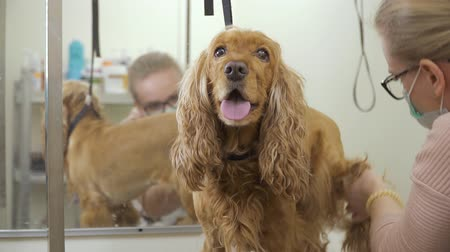 spanyel : Groomer shaves fur of the dog in salon