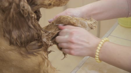 spanyel : Groomer washes fur of cocker spaniel