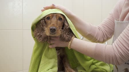 spanyel : Woman wipes wet dog after shower