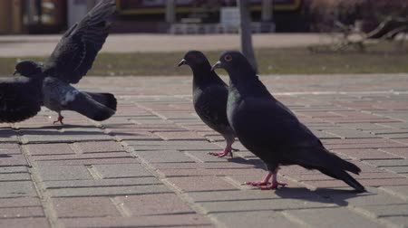 Бродвей : Urban pigeons on the road Стоковые видеозаписи