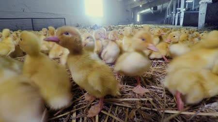 széna : Cute little yellow ducklings at poultry farm