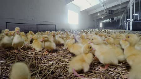 corral : Little yellow ducklings at poultry farm Stock Footage