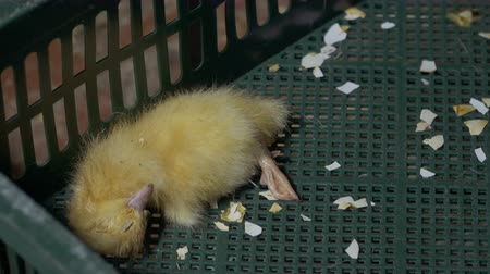 dead chickens : Dead yellow duckling Stock Footage