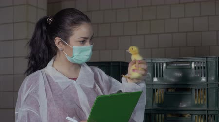 incubator : Inspector check ducklings for defects and diseases at poultry farm Stock Footage