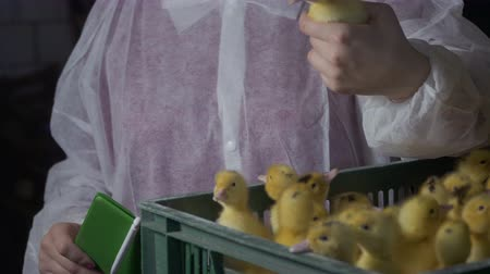 patinho : Inspector check ducklings at diseases and defects at poultry farm Vídeos