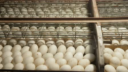 bird eggs : Rack with a lot of duck eggs in incubator Stock Footage