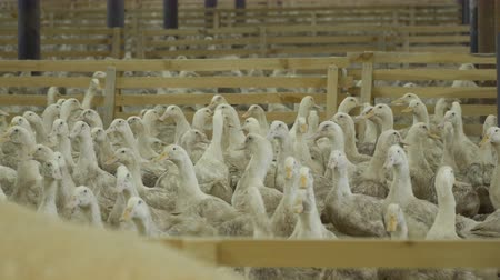 загон : Cultivation of ducks at poultry farm for sale