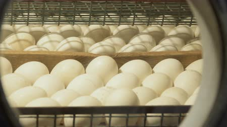 csajok : Looking at incubator eggs through a window in the door
