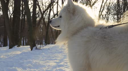 large breed dog : Fluffy samoyed dog in winter park