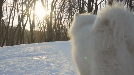 samoyed : Beautiful white samoyed dog walk on leash in winter park, slow motion