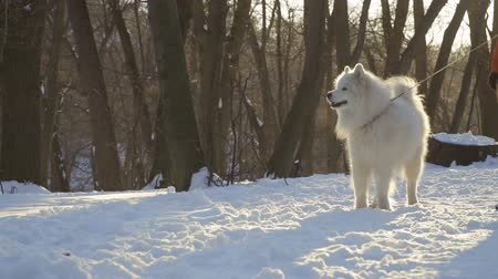 samoyed : Unrecognizable person walk with beautiful samoyed dog in winter park