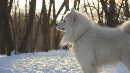 samoyed : Beautiful samoyed dog in winter park