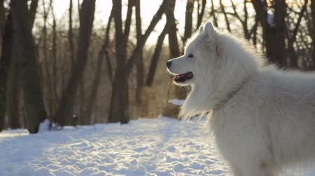 samoyed : Beautiful white samoyed dog in winter park, slow motion