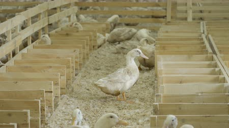 загон : Ducks at poultry farm Стоковые видеозаписи