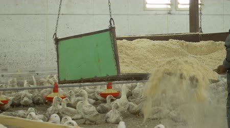 загон : Farmer sort sawdust in duck paddocks at poultry farm