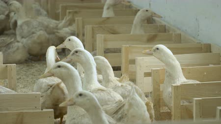 загон : Adult ducks growing at poultry farm for sale Стоковые видеозаписи