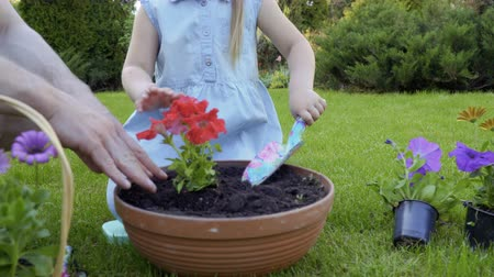 helpful : Father and little daughter together replant flowers into clay pot Stock Footage