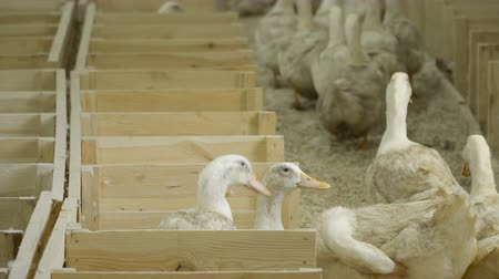 corral : Ducks for sale at poultry farm Stock Footage