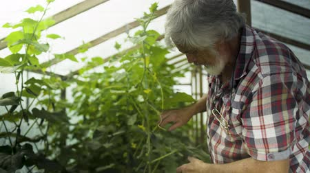 росток : Mature gray-haired man inspecting sprouts of cucumber in greenhouse