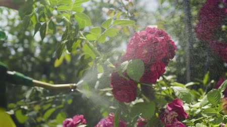 squirting : Gardener refresh pink roses in the garden with a water