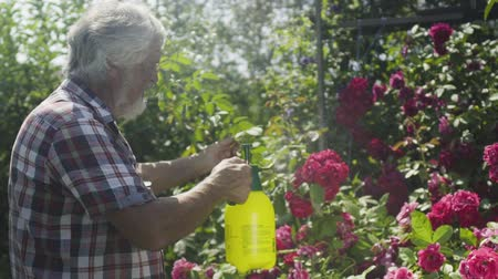 squirting : Senior man irrigate roses in the garden with a fresh water
