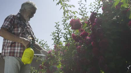 squirting : Old man irrigate bushes of roses in the garden with a fresh water