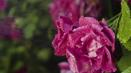 squirting : Drops of water splashing at roses in slow motion Stock Footage
