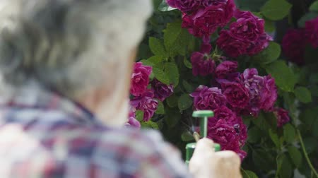 squirting : Senior man splashing fresh water at the roses in the garden Stock Footage