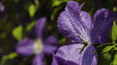 squirting : Drops of water splashing at purple flowers in the garden Stock Footage