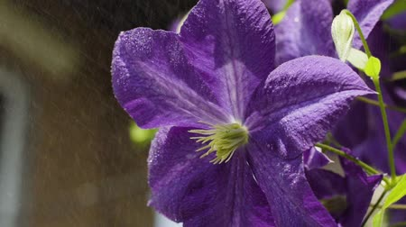 squirting : Drops of water splashing at violet flower in slow motion