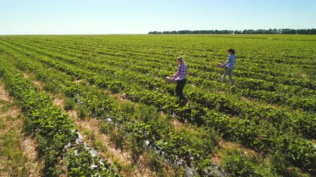 two rows : Two young girls are working at strawberry field Stock Footage