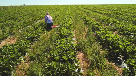 two rows : Two girls picking strawberries at strawberry plantation, drone view Stock Footage