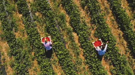 two rows : Two girls picking strawberries into a boxes at the field, drone view Stock Footage