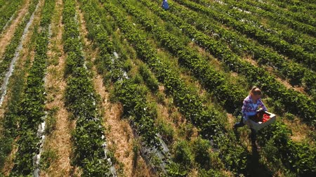 two rows : Two girls working at strawberry field, aerial view Stock Footage