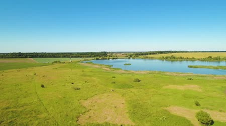 коровы : Amazing view at green meadow and blue lake from flying drone