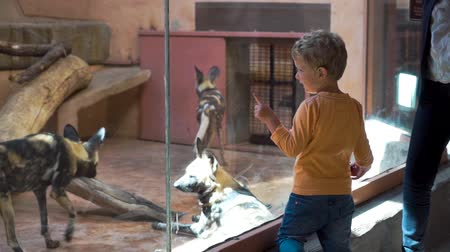 klatka : Small boy is looking at hyenas in the zoo