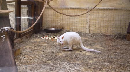 tartás : White kangaroo is at the zoo