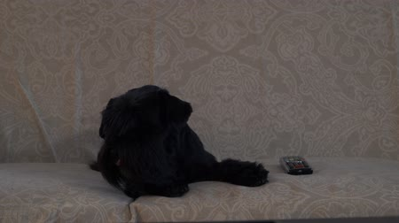 conveniente : Black dog lies on the couch Stock Footage